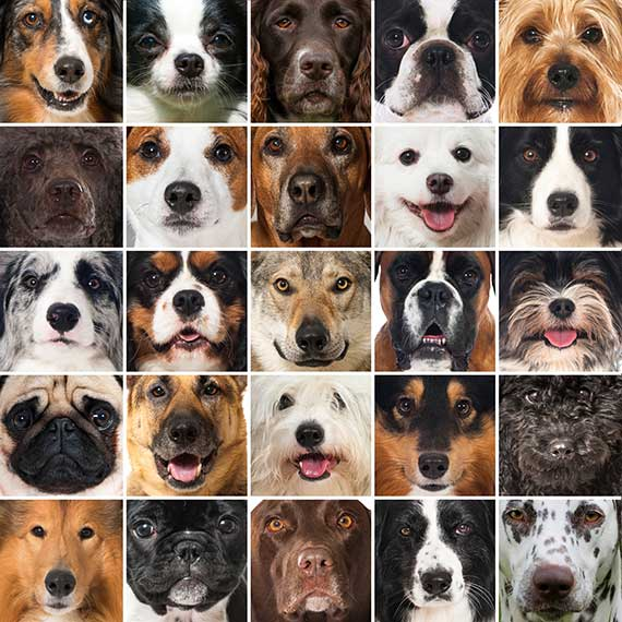 """Is one of the medium size dog breeds the """"just right"""" size for you?"""