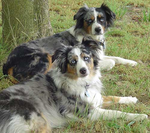Miniature Australian Shepherds