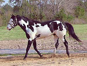 Overo Coat Pattern Paint Horse