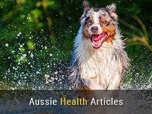 Australian Shepherd Health Articles