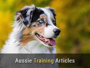 Australian Shepherd Training Articles