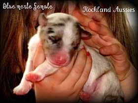 Puppy Socialization - Rockland Australian Shepherds