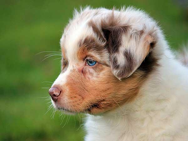 Cute Australian Shepherd puppy with blue eyes.