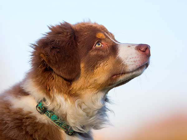 Australian Shepherd puppy wearing safety dog collar.