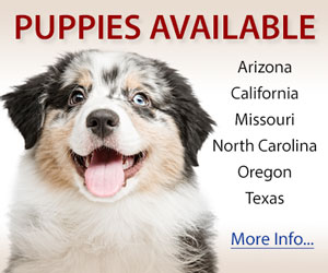 Australian Shepherd Puppies For Sale