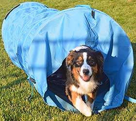 Australian Shepherd running out of agility tunnel chute