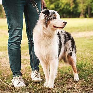 Lady with her Australian Shepherd at the park.