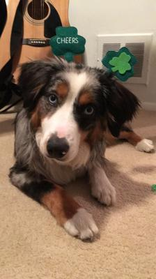 Jobin the Mini Aussie