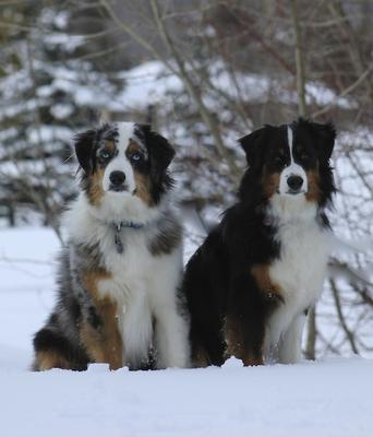 Sadie (Black Tri), Finnegan (Blue Merle)