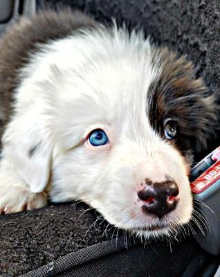 Excess White (Mismarked) Australian Shepherd Puppy Concern