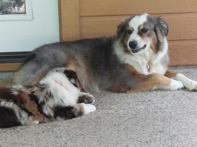 Gracie with new aussie pup