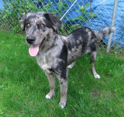 Australian Shepherd Lab Mix Full Grown Images & Pictures - Becuo