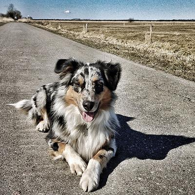 How to deal with younger australian shepherd being too aggressive how to deal with younger australian shepherd being too aggressive with older dog and running out into the street fandeluxe Images