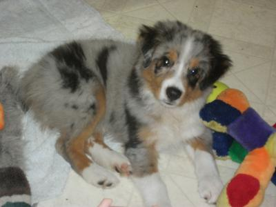 Red Merle Australian Shepherd Puppies
