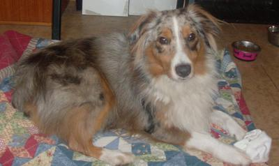 My Blue Merle Seems To Have Changed To A Red Merle