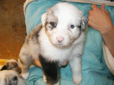 Best Food For Puppies >> Need Help Evaluating Aussie Pup With Half White Face