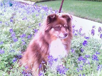 Chelsea in Texas Blue Bonnets