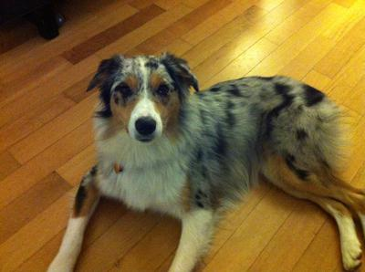 Australian Shepherd Dog Pictures Photos And Images Photo Gallery Of ...