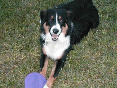 Rascal taking a frisbee break