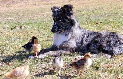 Not sure what to do about the fact that the chicks are walking all over her.