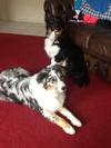 Me and my best mate .... Bonnie and Banjo .... Bonnie is the Merle and Banjo is also a pedigree Aussie