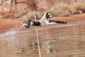 Eve at Lake Powell, Utah chasing her toy into the water