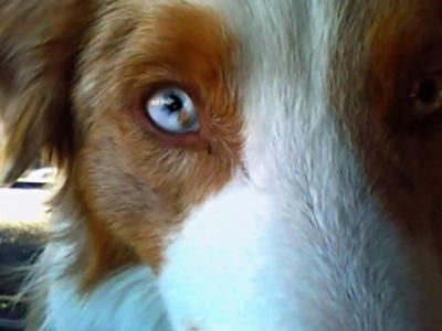 Our blue eyed red merle boy!